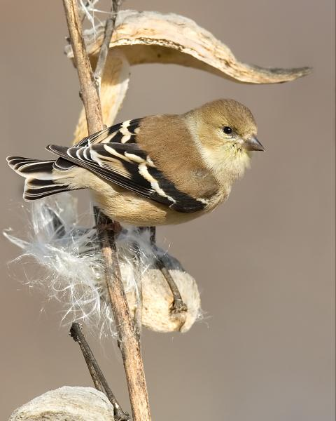 8 x 10 American goldfinch on milkweed picture