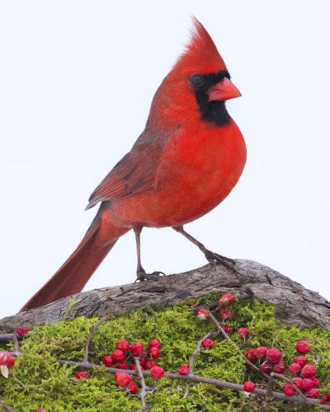 Northern cardinal on moss picture