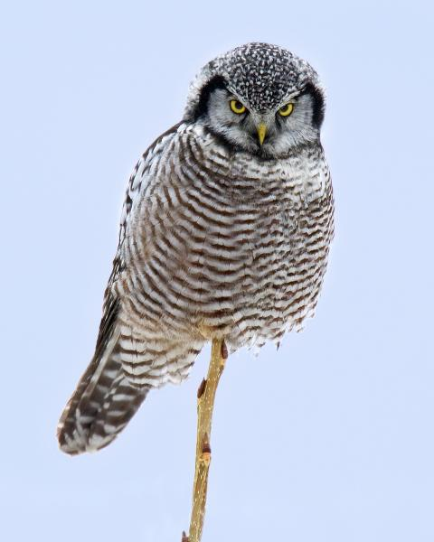 8 x 10 Northern hawk owl