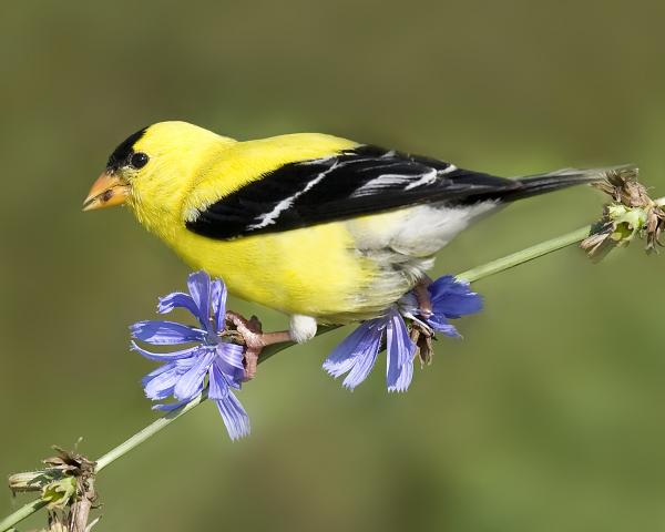8 x10 American goldfinch on chicory