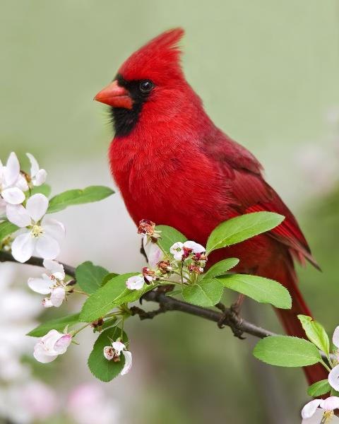8 x 10 Northern cardinal on flowers