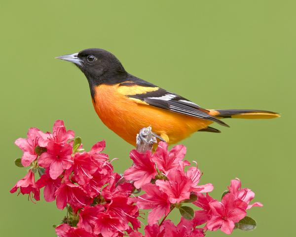 8 x 10 Baltimore oriole